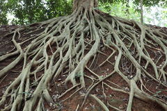 惊人的混乱根源结构树 免版税库存图片