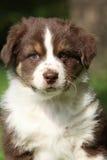 惊人的澳大利亚牧羊人小狗画象  免版税库存照片