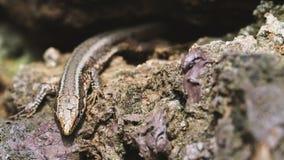 惊人的特写镜头蜥蜴照片 库存图片