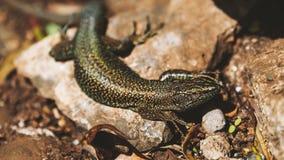 惊人的特写镜头蜥蜴照片 免版税库存图片
