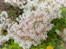 惊人的白色开花典雅的花 免版税库存照片
