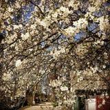 惊人的白色开花在Kyiv Oblast -伊尔平- KYIV -乌克兰 库存照片