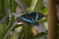惊人的矮小的鲜绿色Swallowtail蝴蝶本质上 库存照片
