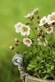 惊人的石竹花在庭院里 免版税库存图片