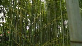 惊人的竹森林,上升入天空,独特的自然的高常青草 影视素材