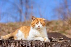 惊人的红色猫在森林休息了在 图库摄影