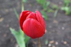 惊人的红色郁金香在春天开了花 免版税库存图片