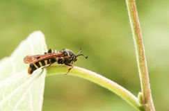 惊人的罕见的莓Clearwing飞蛾Pennisetia hylaeiformis在叶子栖息 图库摄影