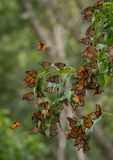 惊人的自然;黑脉金斑蝶 免版税图库摄影