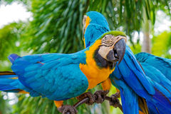 惊人的蓝色和黄色金刚鹦鹉(Arara鹦鹉) 库存照片