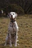 惊人的达尔马提亚狗 库存照片