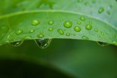 惊人的金刚石小滴小滴绿色叶子离开象查找较大水 图库摄影