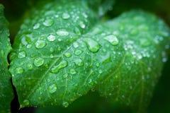 惊人的金刚石小滴小滴绿色叶子离开象查找较大水 库存照片