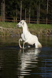 惊人的阿拉伯马在水中 免版税库存图片