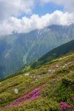 惊人的风景用桃红色杜鹃花在山开花,在夏天。 免版税图库摄影