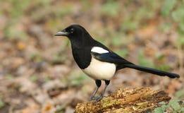 惊人的鹊12点活字12点活字在食物的日志狩猎栖息 免版税库存图片
