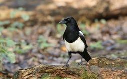惊人的鹊12点活字12点活字在食物的日志狩猎栖息 库存图片