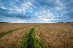 惊人的麦田风景在夏天风雨如磐的日落天空下 免版税图库摄影