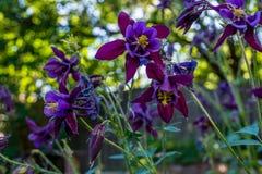 惊人的黑暗的紫罗兰色aquilegia在庭院里开花开花 免版税库存照片