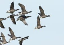 惊人的黑雁鹅黑雁bernicla飞行群在蓝天的 免版税库存图片