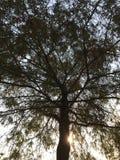 惊人的结构树 库存图片
