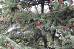 惊人的绿色云杉是非常美丽的在春天 在3月,红色钉在云杉开始增长 库存图片