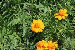 惊人的黄色花在夏天开了花 免版税库存图片