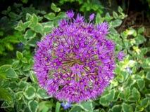惊人的紫色颜色庭院葱属花束特写镜头  免版税库存照片