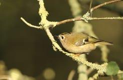 惊人的Goldcrest鸟金属渣金属渣在搜寻昆虫的分支栖息吃 库存图片