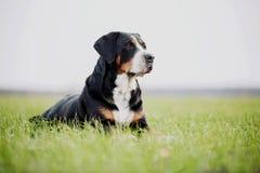 惊人的rottweiler监护人 库存照片