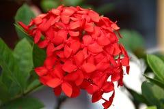 惊人红色八仙花属花 免版税库存图片
