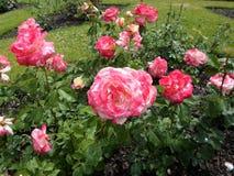 惊人美丽的桃红色玫瑰 免版税库存照片