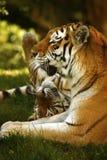 惊人美丽的阿穆尔河老虎 免版税库存照片