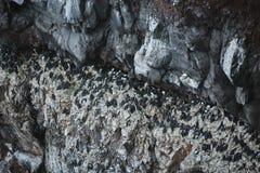 惊人Latrabjarg峭壁,欧洲` s最大的鸟峭壁和家数百万的鸟,包括海鹦,北 免版税库存图片