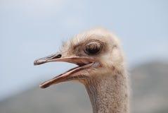 惊奇在嘎嘎叫的驼鸟的仔细的审视 免版税库存图片