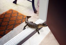 惊奇客人-在房子的门阶的美国短吻鳄 库存照片