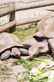 100惊奇比事情安排他的i寿命被看见的许多老认为草龟非常年 库存照片