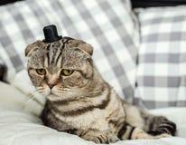 惊奇的和非常滑稽的苏格兰人折叠与一个帽子的猫在她的hea 免版税图库摄影
