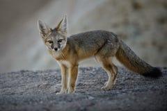 惊奇的小狐狸 库存照片
