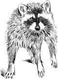 惊奇的浣熊 免版税库存图片