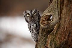 惊奇的猫头鹰尖叫声 免版税库存图片