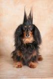 惊奇的达克斯猎犬 免版税图库摄影