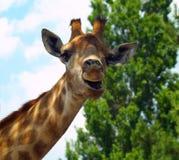 惊奇的长颈鹿 免版税库存照片