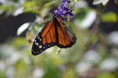 惊奇紧密一只美丽的总督蝴蝶 免版税库存图片