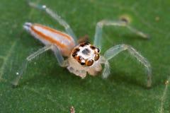 想念蜘蛛的四跳的行程 库存照片