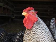 想法的鸡 免版税库存图片