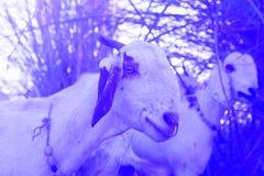 想知道在农村印度风景的山羊 免版税库存图片