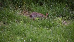 想知道在围场附近的长毛的野兔 股票录像