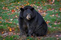 想知道在魁北克,加拿大的黑熊 库存图片