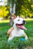 愉快和逗人喜爱的美国斯塔福德郡狗 库存照片